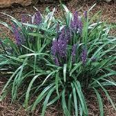 Liriope Muscari Evergreen Giant Lily Turf Adv 75mm Pot